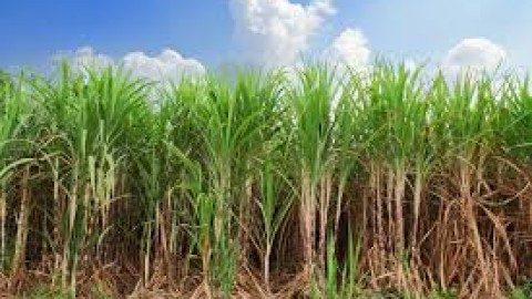C-Users-patricia.mcdermott-Pictures-sugar-cane-resized-600.jpg
