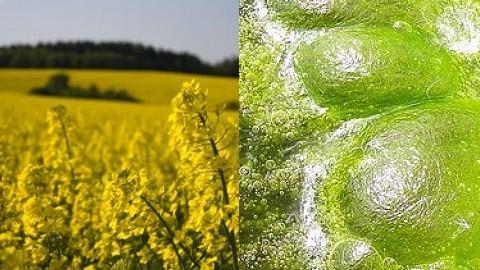 biofuels-crop-and-algae-resized-600.jpg
