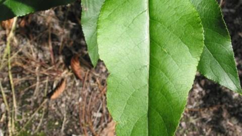 black-cottonwood-populus-trichocarpa.jpg