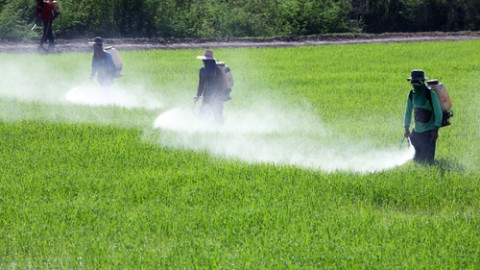 pesticide-spray-in-paddy-field.jpg