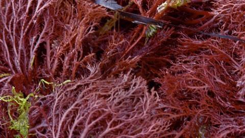 red-seaweeds.jpg