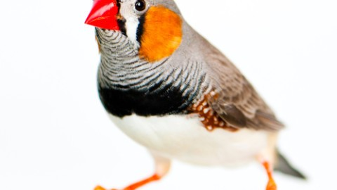 zebra-finch-single.jpg