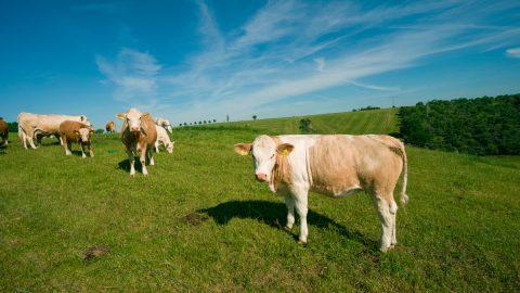 sunshine_cows